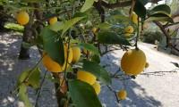 Zitronen-am-Bauernhof-bearbeitet