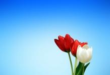 3 Tulpen